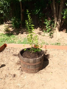 3/19/2015 - G's lime tree in it's new home.
