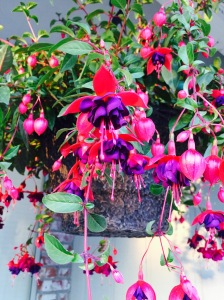 4/26/2015 - Closer view of Fuchsia - Dollar Princess.